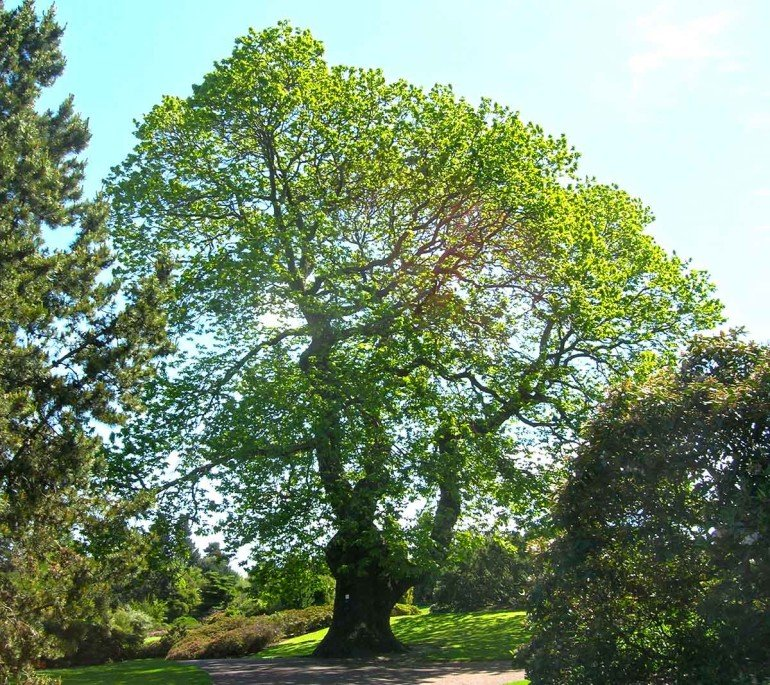 European chestnut tree