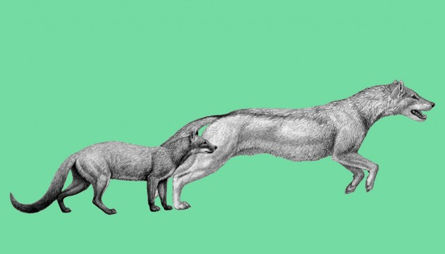 Two early dogs, Hesperocyon (left) and the later Sunkahetanka, were both ambush-style predators. As climate changes transformed their habitat, dogs evolved pursuit hunting styles and forelimb anatomy to match. (Credit: Mauricio Anton)