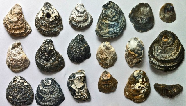 oyster_shells_1170
