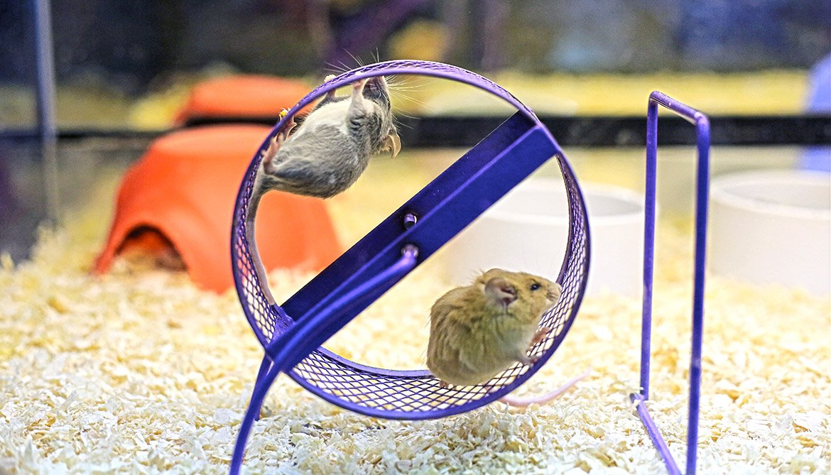 mice on an exercise wheel