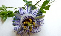 passionflower_1170