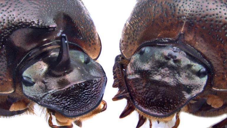 cyclops Onthophagus