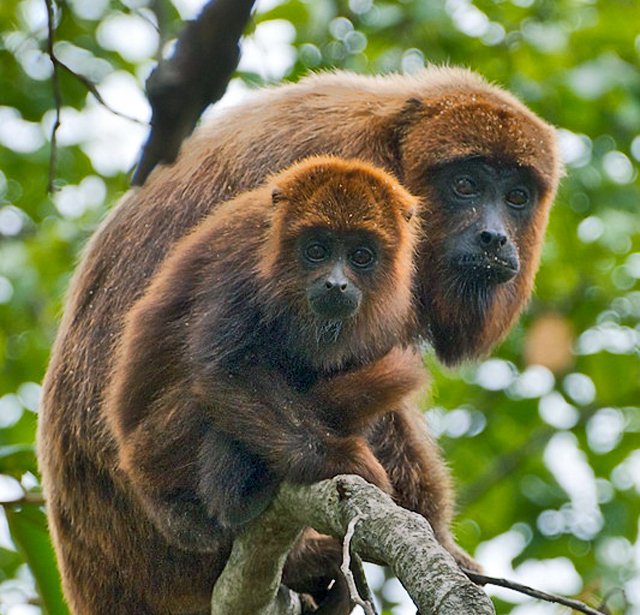 Brown howler monkeys. (Credit: Peter Schoen/Flickr)