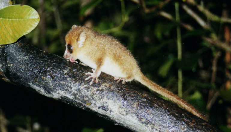 Brown mouse lemur. (Credit: Leonora (Ellie) Enking/Flickr)